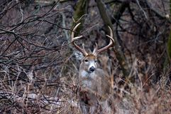 Whitetail Deer Buck. Standing next to a thicket in the rutting season Royalty Free Stock Image
