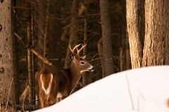 Whitetail deer buck in the Adirondack forest royalty free stock images