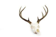 Free Whitetail Deer Buck Antlers And Skull Royalty Free Stock Photo - 94514155