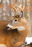 Whitetail Deer Buck Antlers Royalty Free Stock Photos