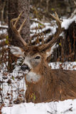 Whitetail Deer Buck Bedded in Snow. A 10-point Ontario whitetail deer buck beds down at the edge of a snowy forest during the November rut royalty free stock photos