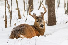 Whitetail Deer Buck Bedded Down In The Fresh Winter Snow Royalty Free Stock Image