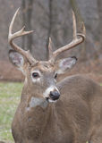 Whitetail Deer Buck. Close up head shot Royalty Free Stock Images