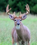 Whitetail Deer Buck. Closeup of a whitetail deer buck with velvet antlers Royalty Free Stock Image
