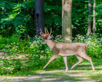 Whitetail Deer Buck. Crossing a road with shedding velvet antlers Royalty Free Stock Photos