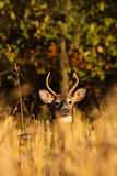 Whitetail Deer Buck in Cut Corn Field. A 4-point whitetail deer buck peers out above the cut corn in a field Royalty Free Stock Photo