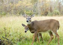 Whitetail Deer Buck And Doe Royalty Free Stock Images