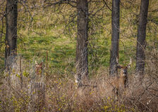 Whitetail Deer Buck And Doe Stock Photos
