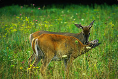 Whitetail Deer - Buck and Doe Royalty Free Stock Images