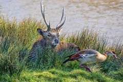 Whitetail deer buck and a duck Stock Photos