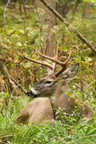 Whitetail Deer Buck Fall Rut Bedded Royalty Free Stock Image