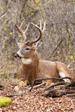 Whitetail Deer Buck Fall Rut. A whitetail deer buck beds in fall leaves Royalty Free Stock Image