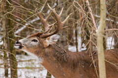 Whitetail Deer Buck Fall Rut Lip Curl. A whitetail deer buck curls its lip in the snow during the fall rut in Ottawa, Ontario Canada Stock Photography