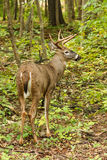 Whitetail Deer Buck Fall Rut Royalty Free Stock Photography