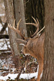 Whitetail Deer Buck Fall Rut Stock Photos