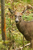 Whitetail Deer Buck Fall Rut Rub Royalty Free Stock Photography