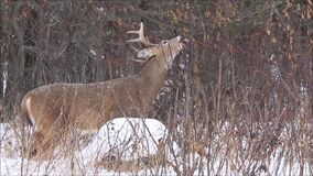 Whitetail Deer Buck Feeding in the Gently Falling Snow. A whitetail deer buck feeds on leaves while the snow gently falls in winter. Filmed in Ottawa, Ontario stock video footage