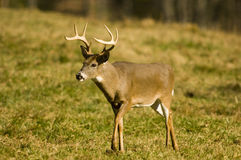 Whitetail deer buck in a field Royalty Free Stock Photos