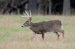 Whitetail deer buck in a foggy field Stock Photo
