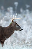 Whitetail deer buck on frosty morning Royalty Free Stock Image