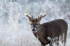 Whitetail deer buck on frosty morning Royalty Free Stock Images
