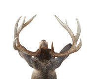 Whitetail Deer Buck Head From Above. View of a Whitetail Deer Buck Head from Above Isolated on White royalty free stock photos