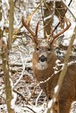 Whitetail Deer Buck With Impressive Antlers Poses in Winter Snow. A whitetail deer buck with impressive antlers poses in the freshly fallen snow of winter stock images