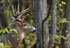 Whitetail Deer Buck Side Profile in Forest royalty free stock images