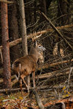 Whitetail Deer Buck During the Rut Royalty Free Stock Photo