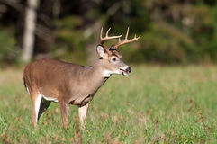 Whitetail deer buck in a meadow Stock Photos