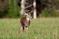 Whitetail deer buck in a meadow Stock Image