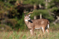Whitetail deer buck in a meadow Stock Photography