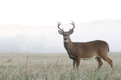 Whitetail deer buck in an open field. A whitetail buck stands at alert in an open meadow on a foggy morning in Tennessee royalty free stock photography