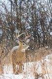 Whitetail Deer Buck Poses During A Winter Snowfall Stock Photography