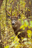 Whitetail Deer Buck. An 8-pt. whitetail deer buck poses during the fall rut in Ottawa, Ontario, Canada Stock Photos