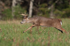 Whitetail deer buck running through meadow Stock Image