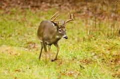 Whitetail deer buck runs along the edge of a field Stock Photos