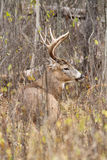 Whitetail Deer Buck Rut. A whitetail deer buck beds down during the fall rut Stock Image