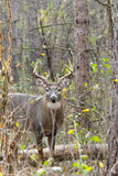 Whitetail Deer Buck Rut. A whitetail deer buck stands during the fall rut Royalty Free Stock Photos