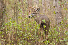 Whitetail Deer Buck Rut Stock Photo