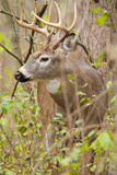 Whitetail Deer Buck Rut Stock Photos