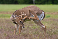 Whitetail Deer Buck. Scratching his forehead with a hind hoof Royalty Free Stock Images