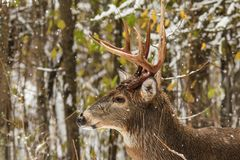 Whitetail Deer Buck Side Profile in Forest with Falling Snow stock image