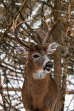 Whitetail Deer Buck in Snow. A 10-point Ontario whitetail deer buck grunts at a doe in a wooded clearing after a snowfall royalty free stock image