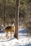 Whitetail Deer Buck in Snow Royalty Free Stock Photos