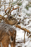 Whitetail Deer Buck Snow Stock Photo