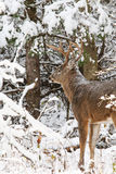 Whitetail Deer Buck Snow Stock Image