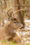 Whitetail Deer Buck Snow Royalty Free Stock Photos
