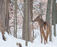 Whitetail Deer Buck In Snow. Whitetail Deer Buck standing in the snow in the woods Royalty Free Stock Images