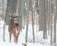 Whitetail Deer Buck In Snow. Whitetail Deer Buck standing in the snow in the woods Stock Photos